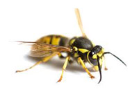 worker_wasp