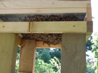 Bees under floor