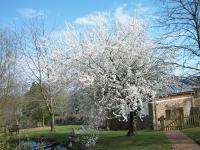 Early flowering plum 2