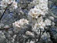 Early flowering plum 1
