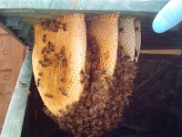 comb in a compost bin i removed to put into a hive