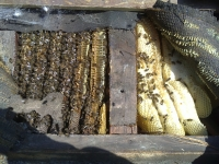 Bees in roof 2