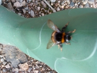 very large bombus bumble bee i had crawl onto me looking for sugar syrup