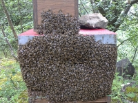 An early swarm
