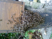 bees greeting newly mated queen