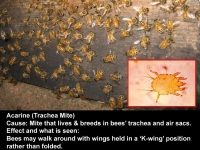 Acarine - trachea mite
