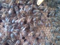 Big Bertha Queen Bee
