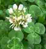 White clover, good for honey bees